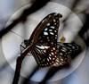 Les papillons de mes chemins
